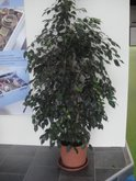 FOIRE INTERNATIONALE DE BORDEAUX location plantes ficusbenj140160