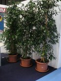 FOIRE INTERNATIONALE DE BORDEAUX location plantes ficusbenj200250
